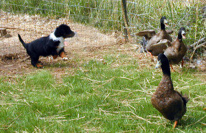 7 week old Darla getting the hang of moving ducks around in the pen.