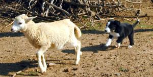 Falco moving the lamb