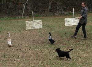 Testing 7 week old pup on ducks